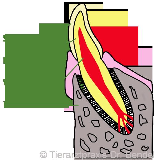 zahn_schematisch